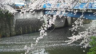 20170409目黒川の花(その73)
