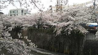 20170409目黒川の花(その74)