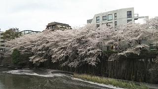 20170409目黒川の花(その75)