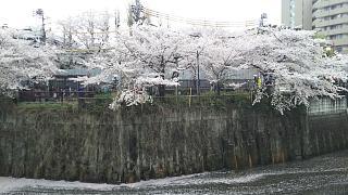 20170409目黒川の花(その76)