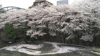 20170409目黒川の花(その77)
