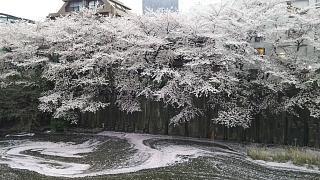 20170409目黒川の花(その78)