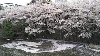 20170409目黒川の花(その79)