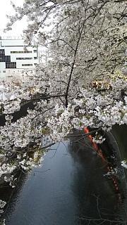 20170409目黒川の花(その80)