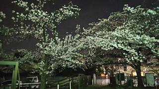 20170410二ヶ領水(その8)