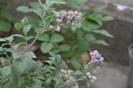 blueberry20170625.jpg