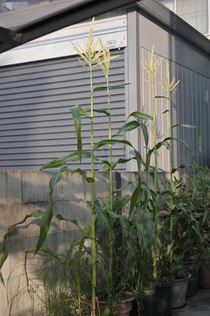 corn20170829.jpg