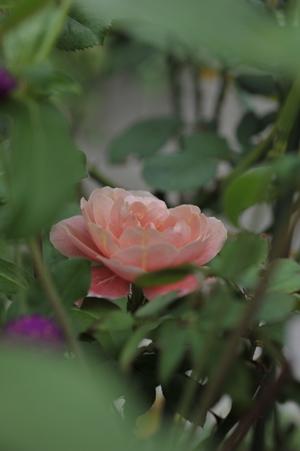 rose20170815.jpg