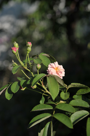 rose20170818-3.jpg