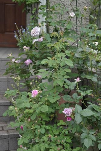 roses20170509-1.jpg