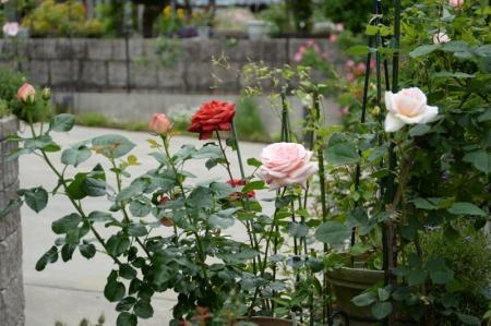 roses20170512-2.jpg