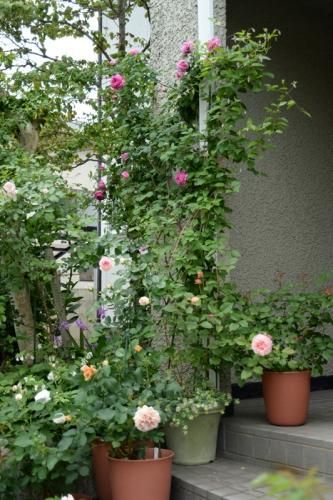 roses20170512-3.jpg