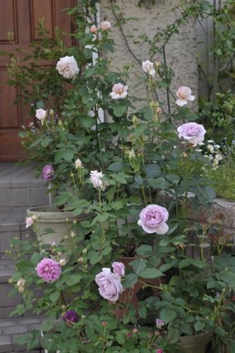 roses20170513-4.jpg