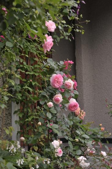 roses20170516-3.jpg