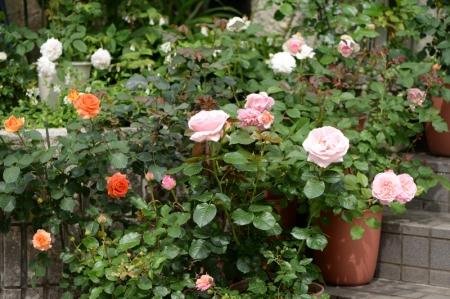 roses20170516-8.jpg