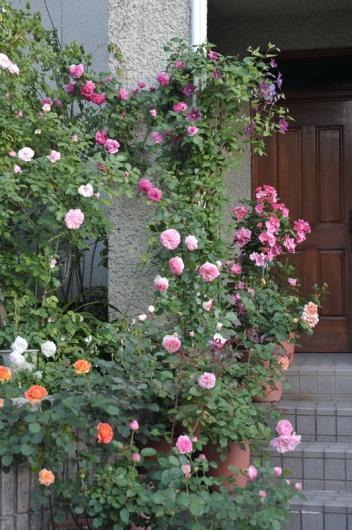 roses20170519-4.jpg