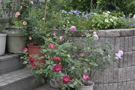 roses20170627-1.jpg