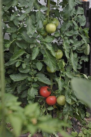 tomato20170627-2.jpg