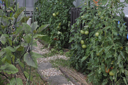tomato20170627-4.jpg