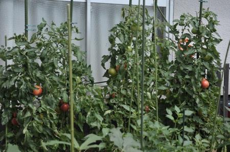 tomato20170707-1.jpg