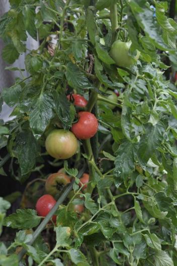 tomato20170709-2.jpg