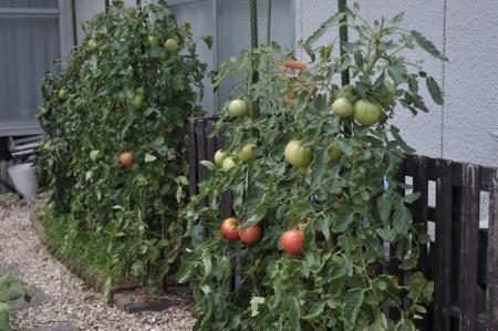 tomato20170712.jpg