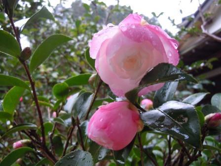 雨に咲く山茶花5(2017-11-22)