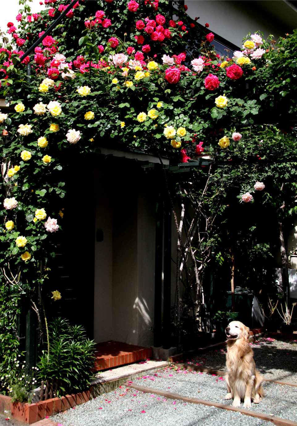 5月7日のバラとヒット(3)