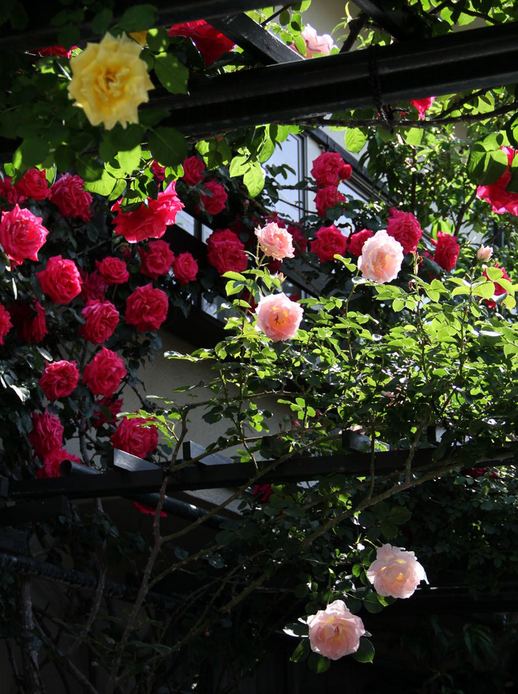 5月7~8日のバラ(2)