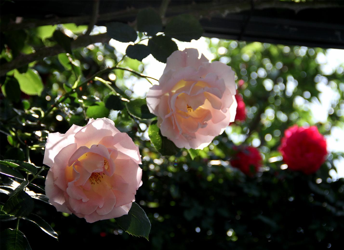 5月7~8日のバラ(1)