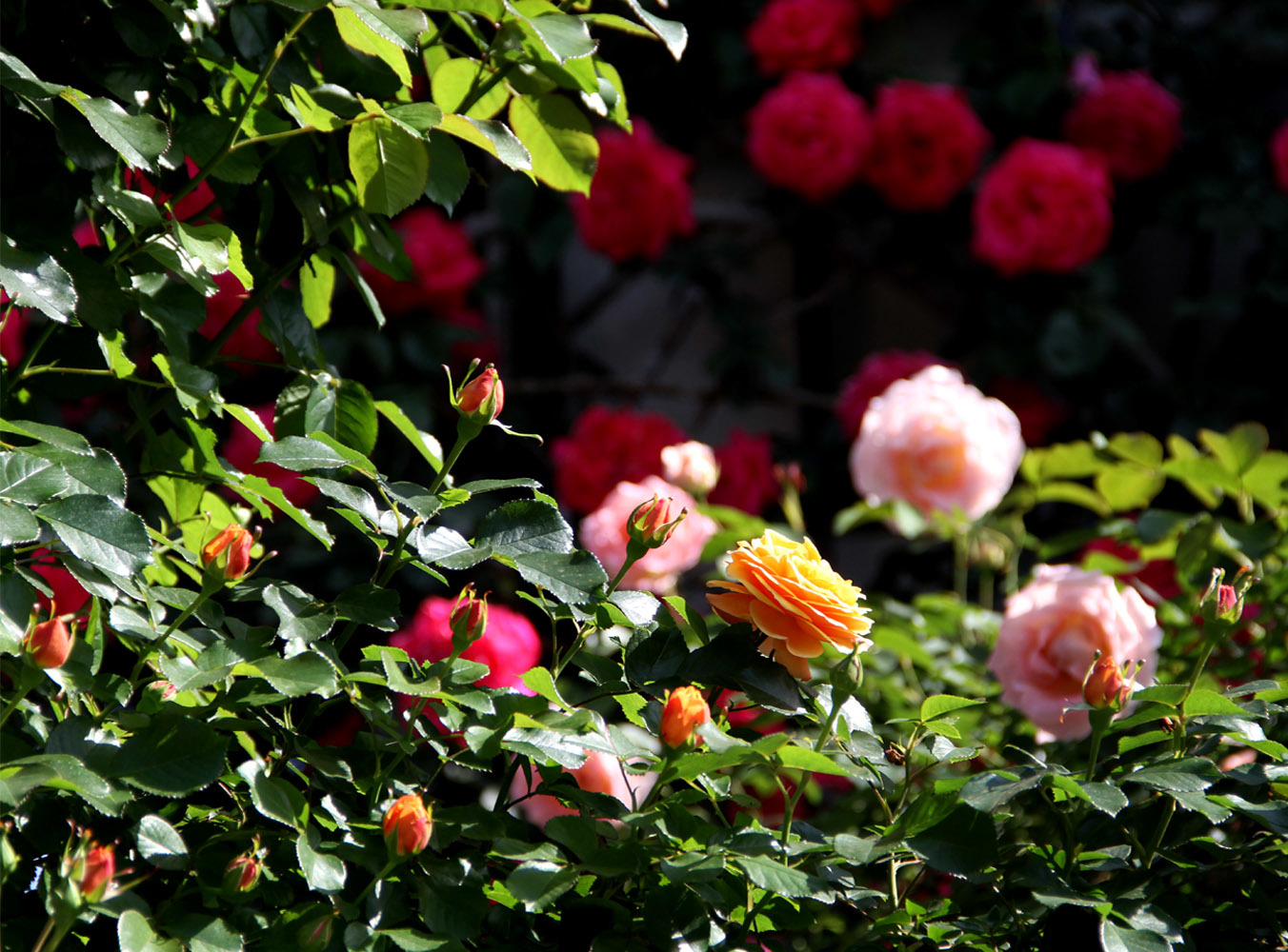 5月7~8日のバラ(3)