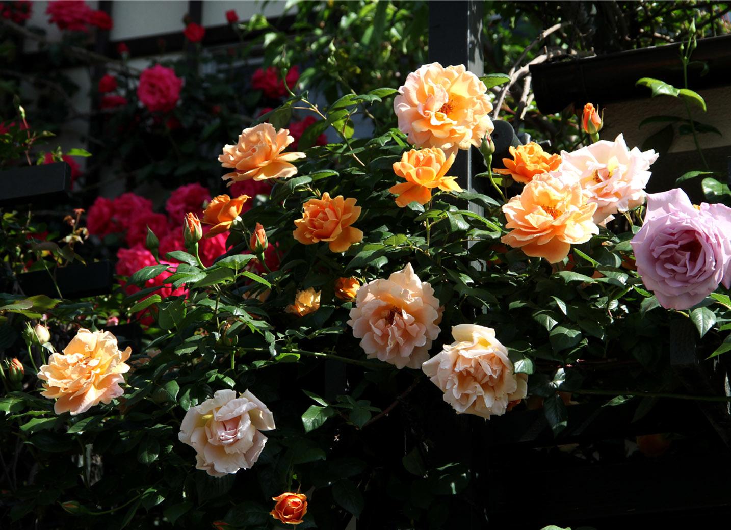 5月7~8日のバラ(4)