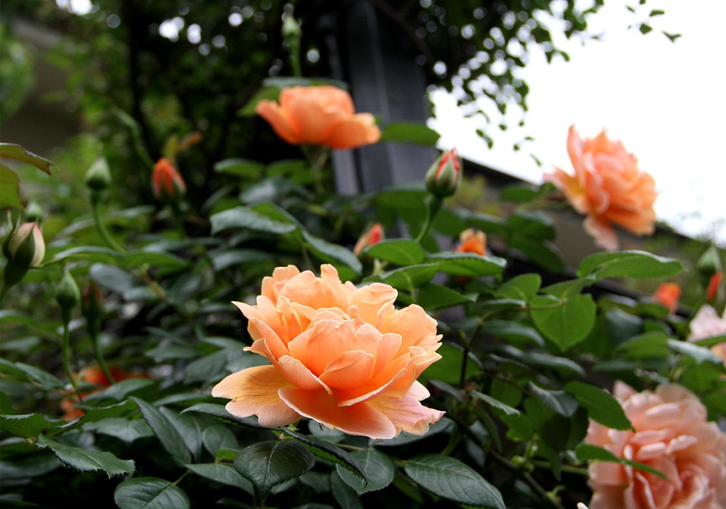 5月7~8日のバラ(5)