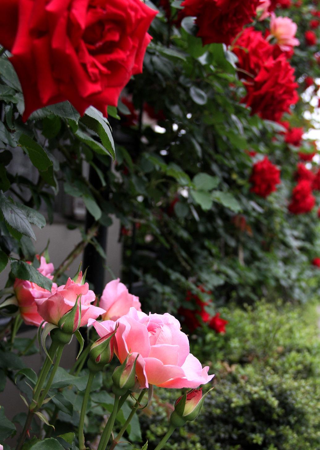 5月7~8日のバラ(7)