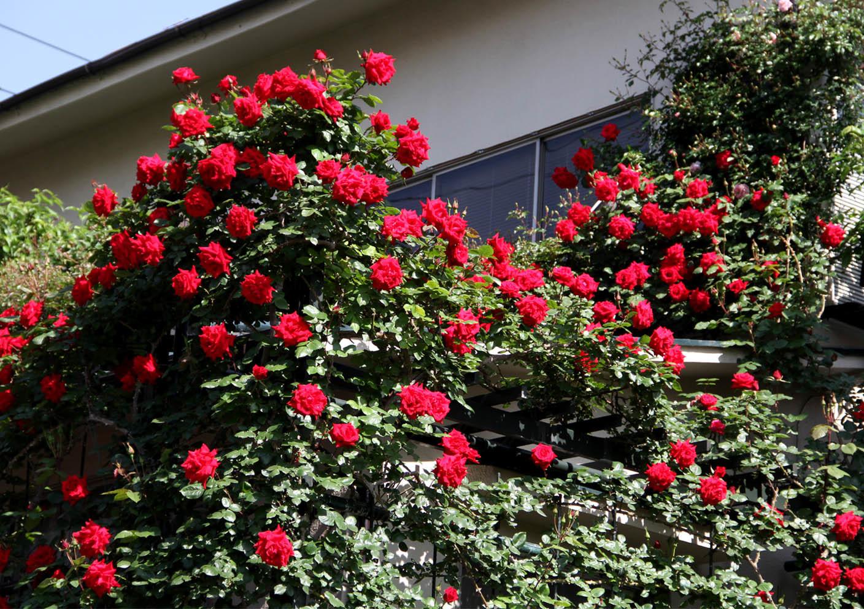 5月7~8日のバラ(8)