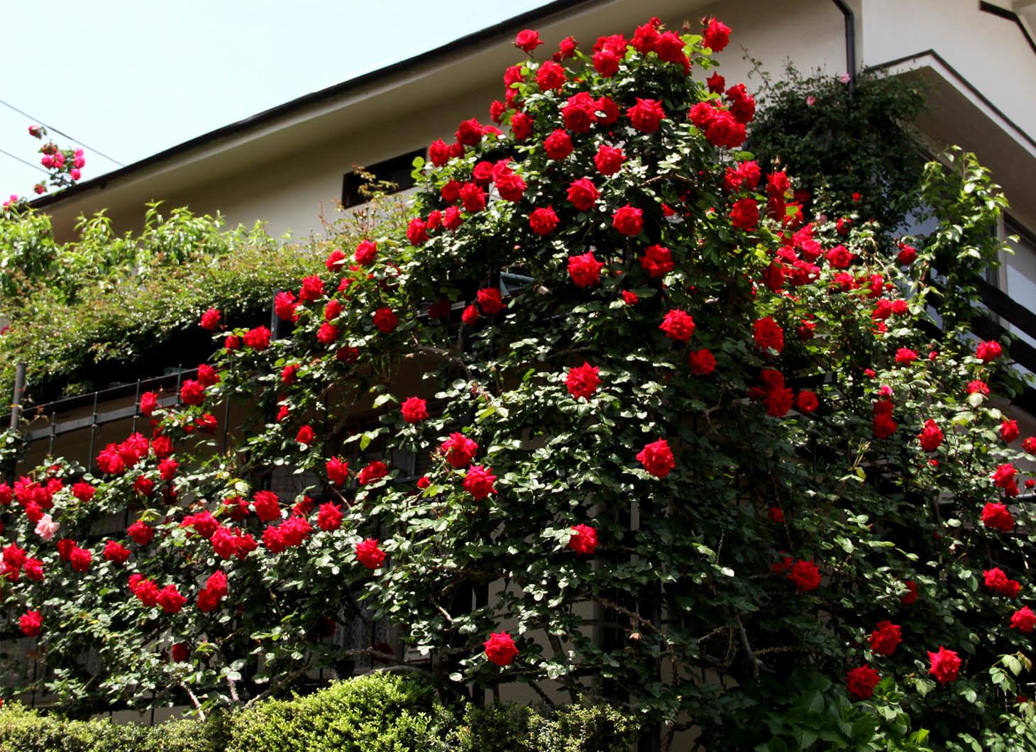 5月7~8日のバラ(9)