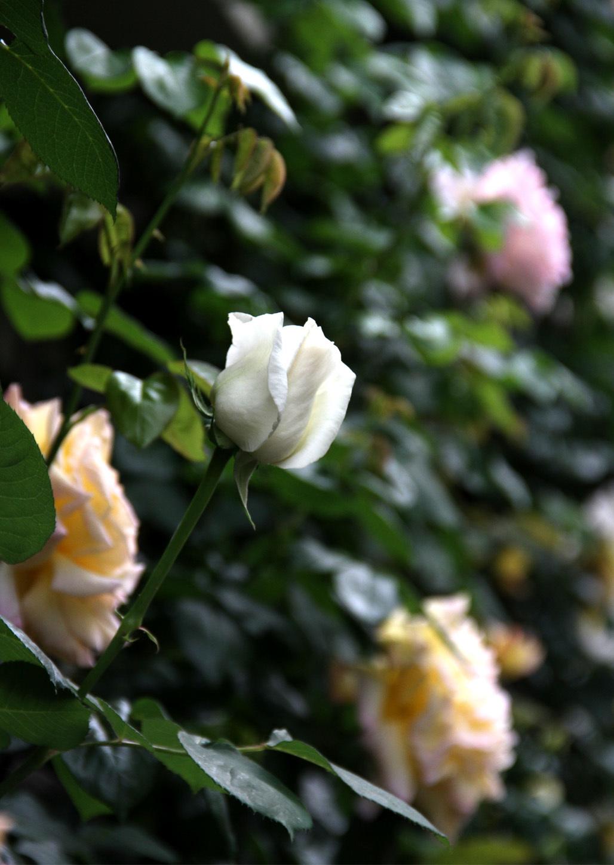 5月7~8日のバラ(10)