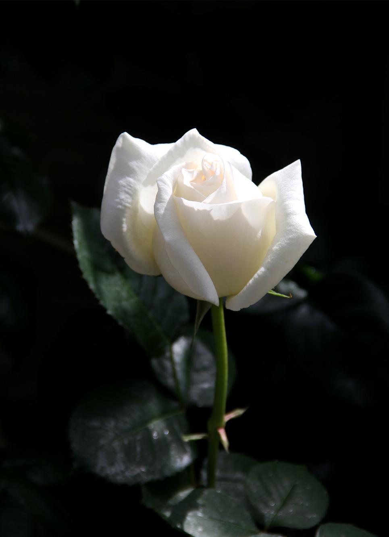 5月7~8日のバラ(11)
