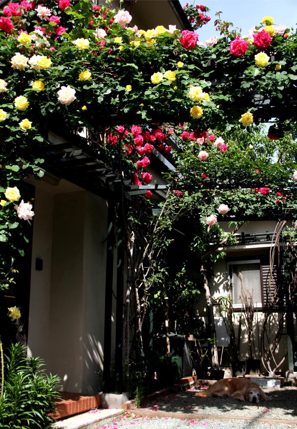 5月7日のバラとヒット(4)