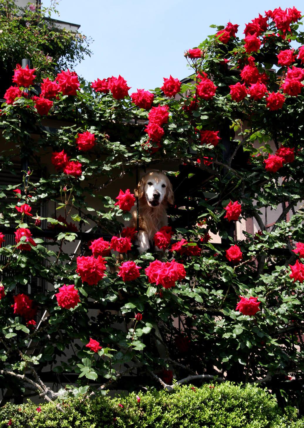 5月12日のバラ(5) ヒット