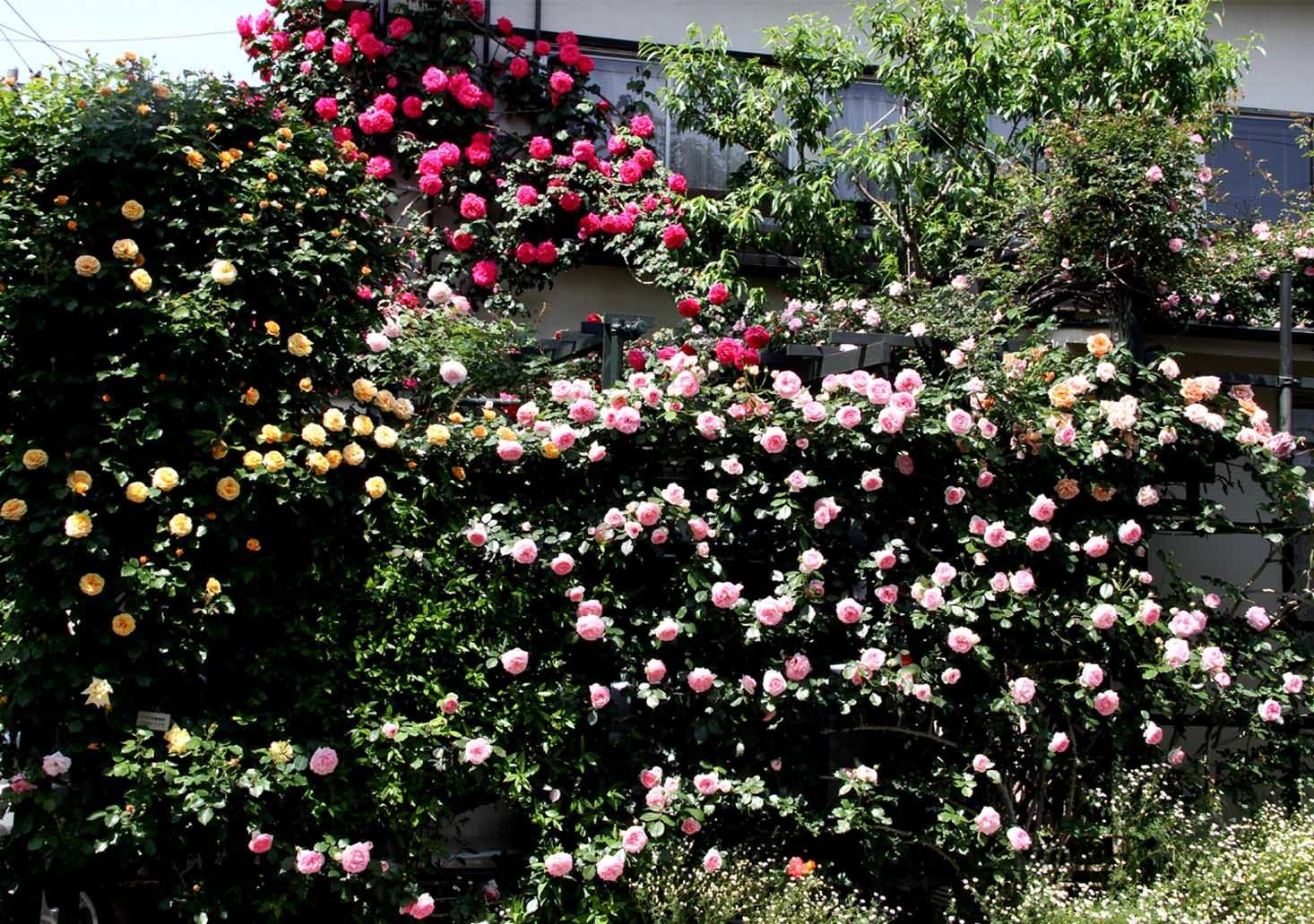 5月12日のバラ(1)