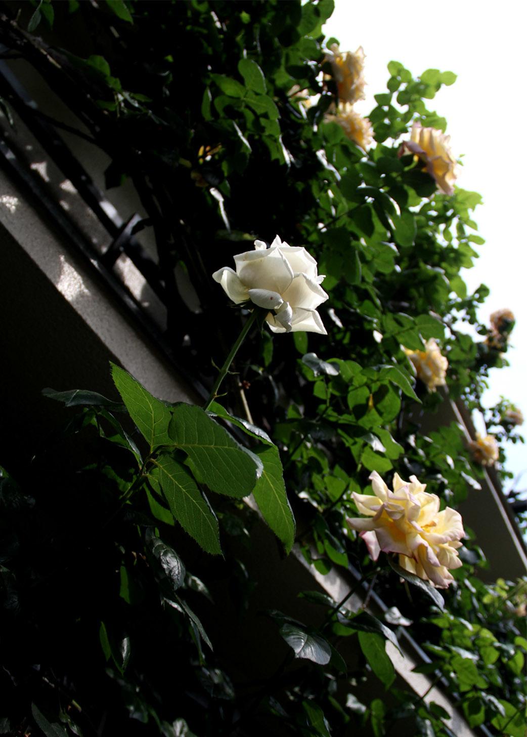 5月12日のバラ(3)