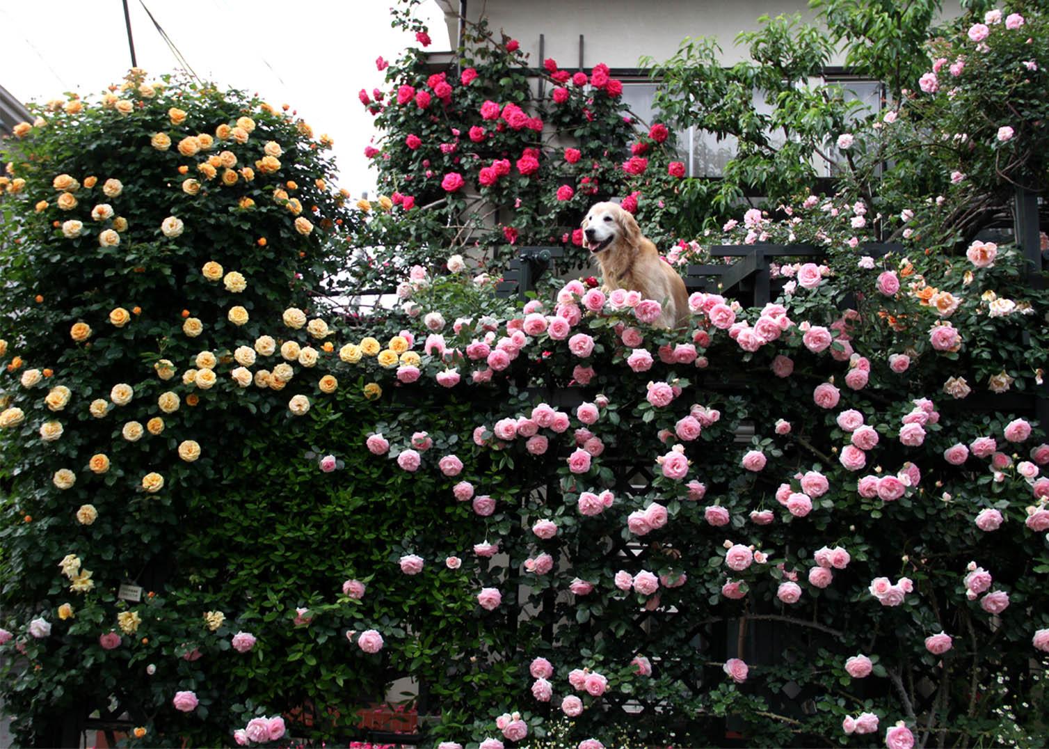 5月15日のヒットとバラ(4)
