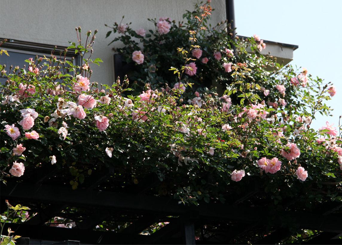 5月19日 屋根の上のバラとヒット(2)