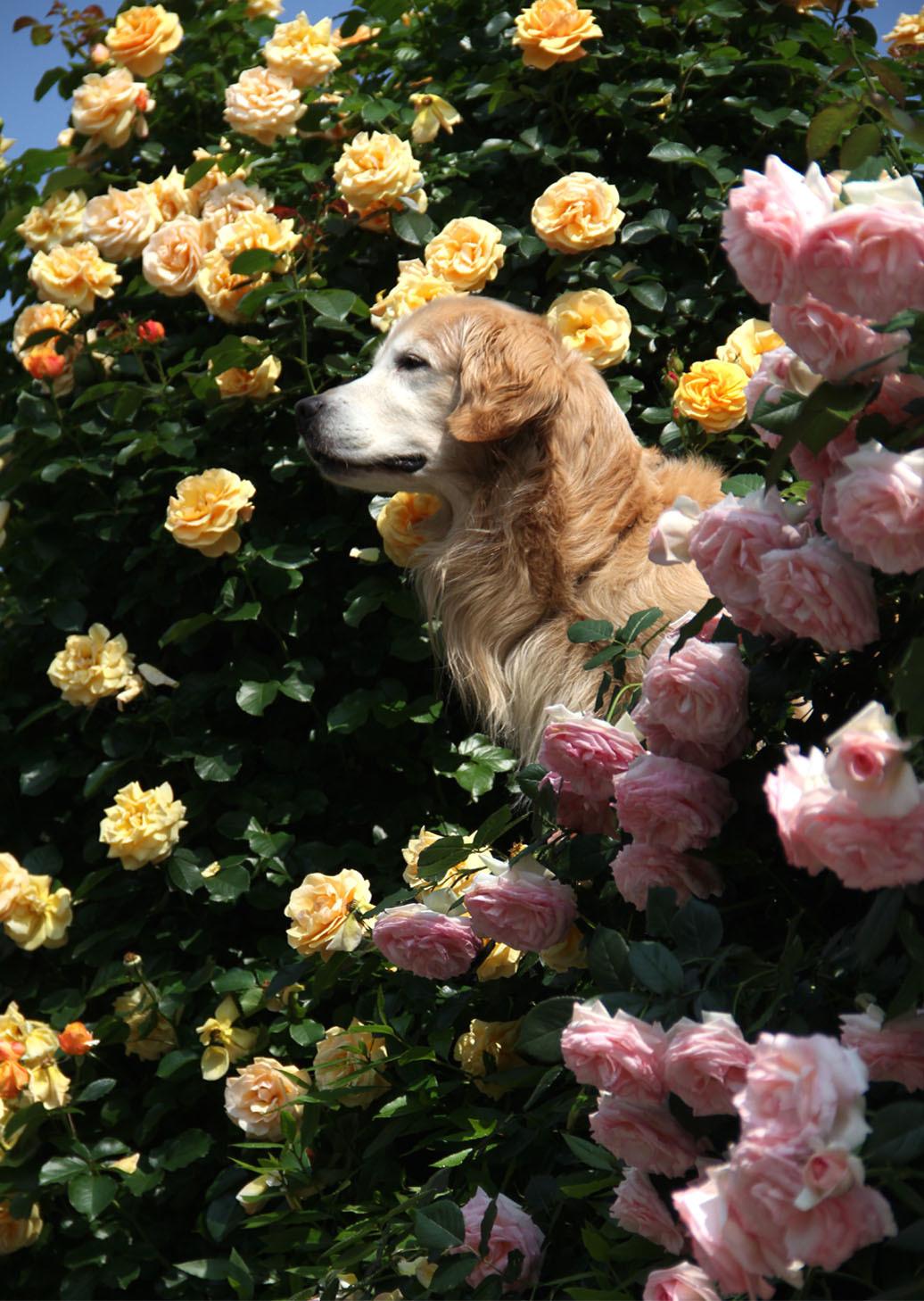 5月19日のバラとヒット(1)