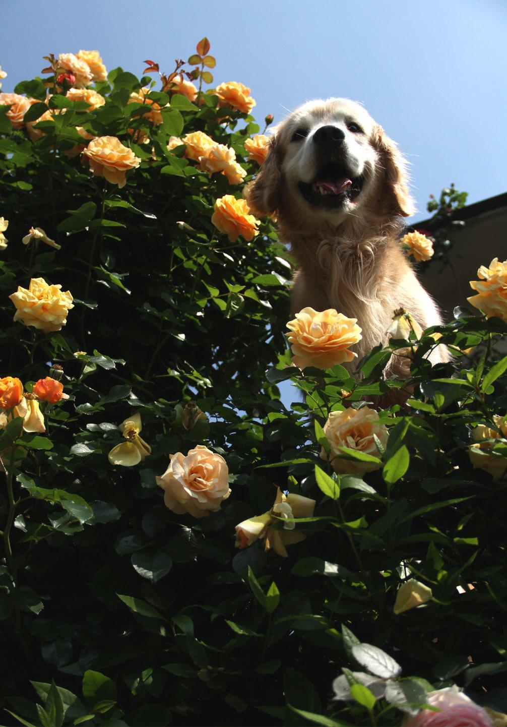 5月19日のバラとヒット(4)