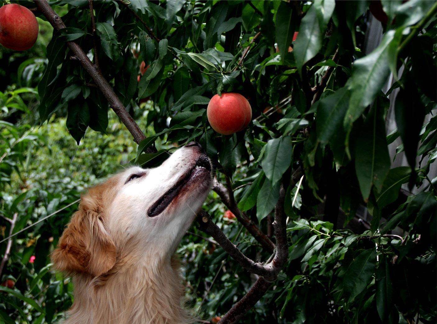 7月13日の桃とヒット(4)