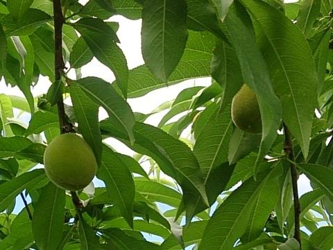 桃袋かけ170524