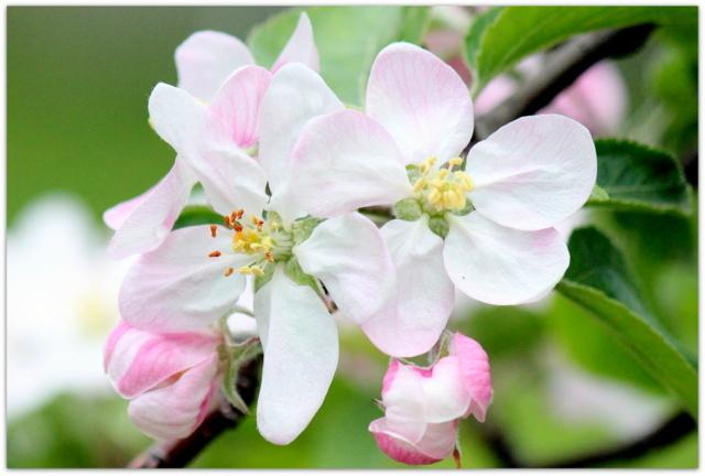 青森県 弘前市 りんご公園 りんご 花 写真 千秋