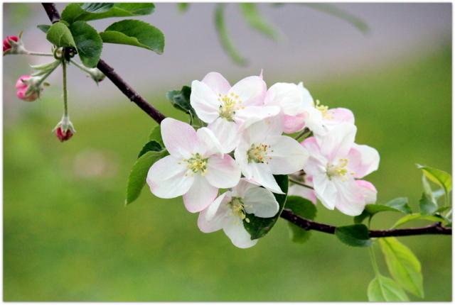 青森県 弘前市 りんご公園 りんご 花 写真 つがる
